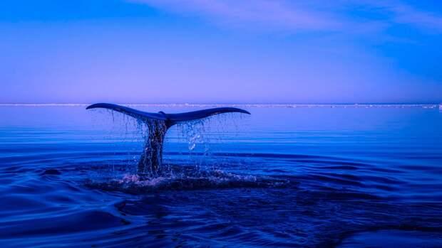 Жители Мурманской области встретили кита у полуострова Средний