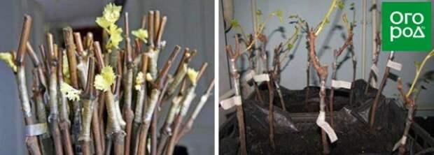 Хранение привитых растений