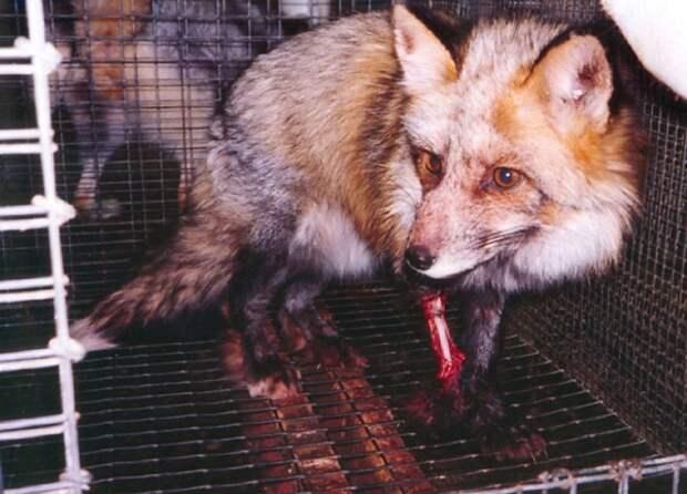 http://www.vita.org.ru/fur/foto/fox-in-farm.jpg
