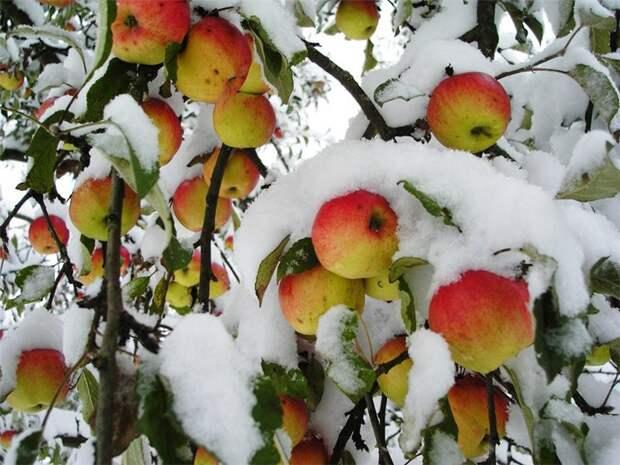 Надо ли стряхивать снег с деревьев в саду?