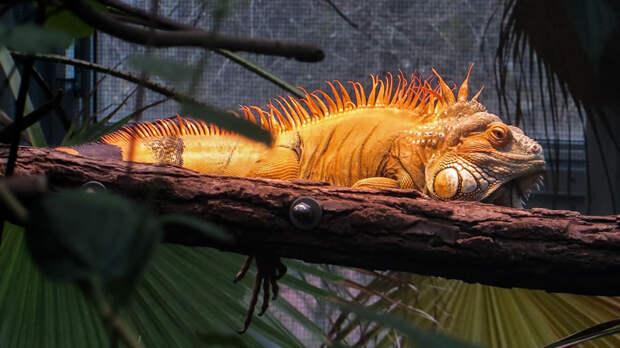 В дикой природе игуаны живут на деревьях, поэтому ветви в террариуме обязательны
