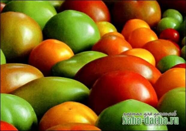 Как получить большой урожай томатов?