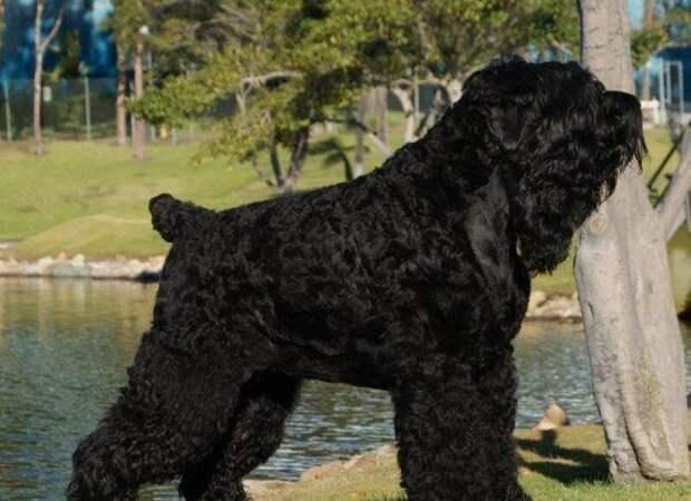 Черный терьер больших, бульдог, до маленьких, питомец, породы, собак, такса