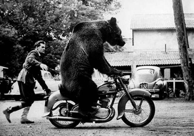 3 забавных факта о медведице Девочке, которой выдали водительские права