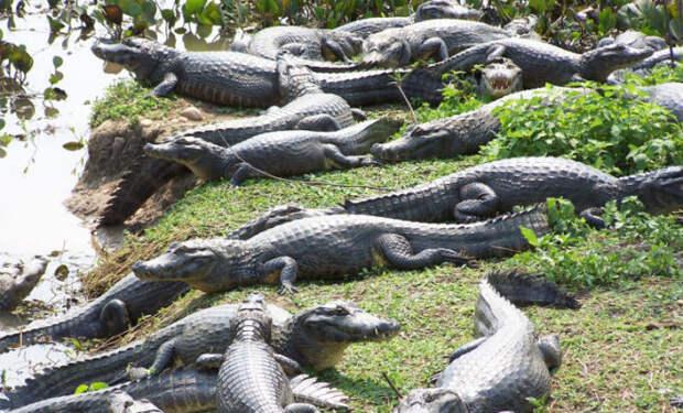 Воды не видно из-за крокодилов: рыбаки поехали на лодке по самому большому болоту мира и выложили видео