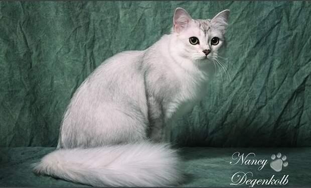 5 место. Бурмилла. домашние животные, кошки, породы кошек, самые редкие