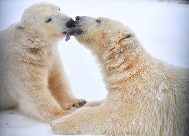 Белые медведи атаковали Новую Землю