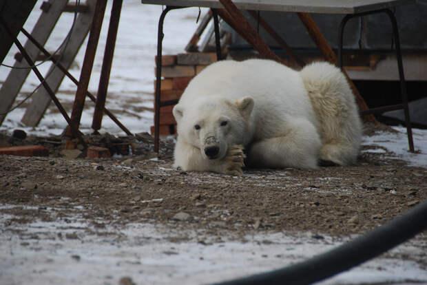 «Медвежий патруль»: как у нас борются с нашествием медведей