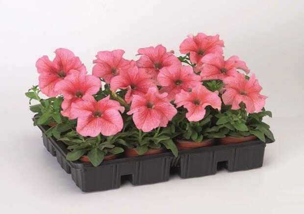 Крупноцветковая петуния: тонкости выращивания рассады