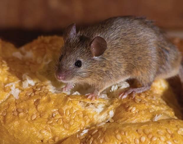 Еще один способ борьбы с мышами из личного опыта