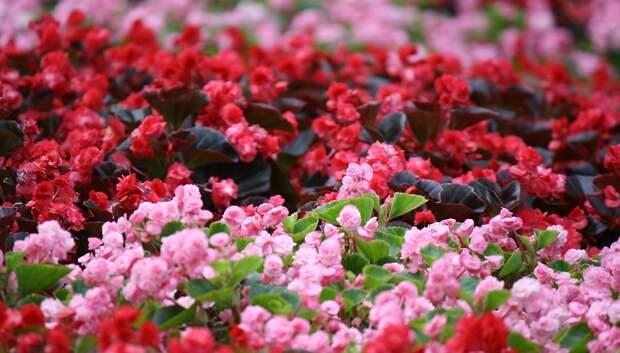 Более 6 млн цветов высадят на улицах Подмосковья в этом году
