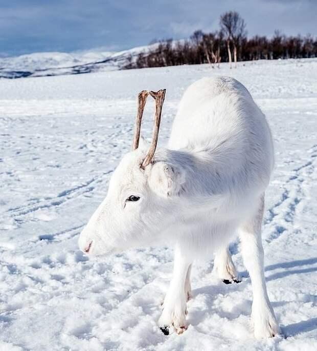 Казалось, малышу нравится позировать животные, норвегия, окрас, олененок, олень, фотография