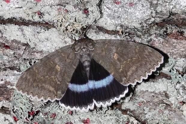 Биологи обнаружили в Чернобыле одну из крупнейших бабочек Европы