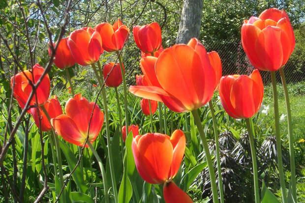 Можно ли сажать тюльпаны весной?