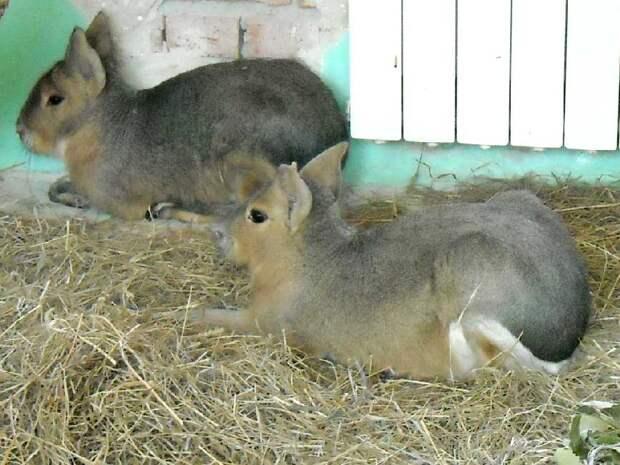 Новосибирский зоопарк - фото 5656 Патагонская мара - Dolichotis patagonica photos