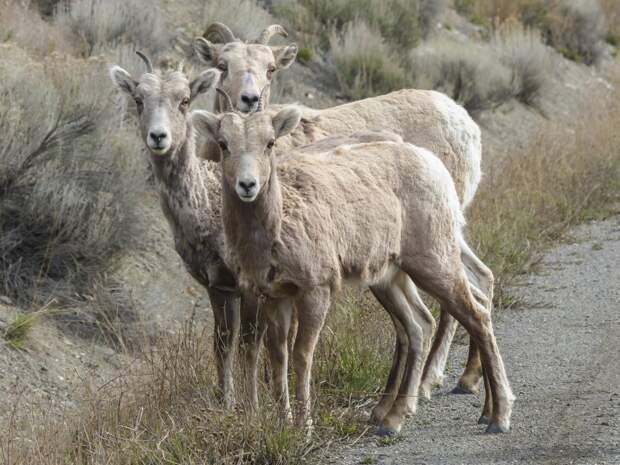 В Марий Эл арестовали недостаточно откормленное стадо баранов