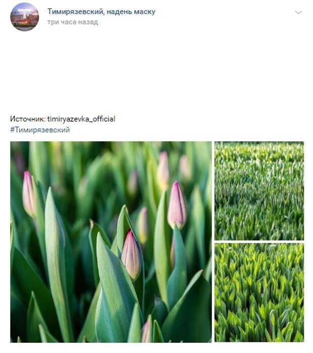Фото: тюльпановые поля Тимирязевки