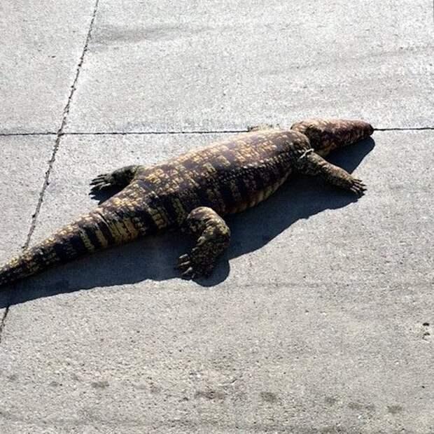 Жители Айовы вызвали спасателей для отлова игрушечного аллигатора