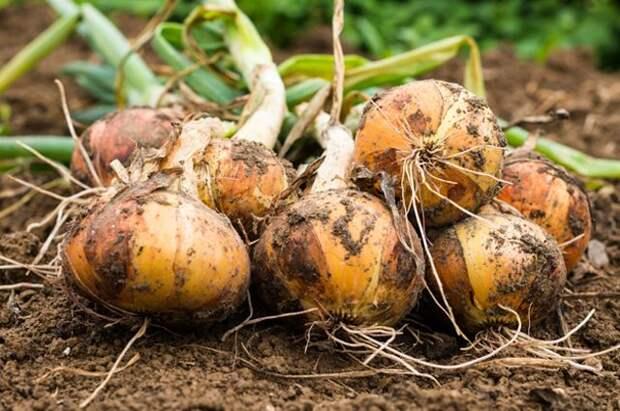 4 секрета хорошего лука. Всё ли вы сделали для качественного урожая репки?