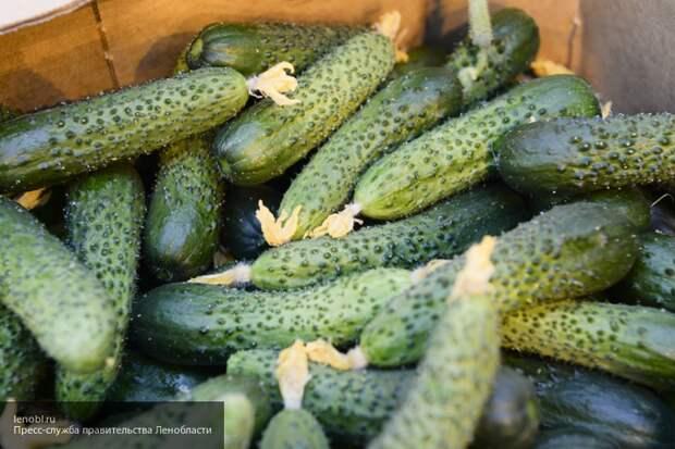 Садоводам рассказали способ получения раннего урожая огурцов