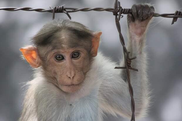 Хвостатые уголовники: в Индии задержали воровскую шайку из обезьян и людей