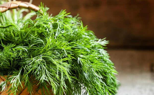 Свежая зелень круглый год: растим к зиме укроп на подоконнике