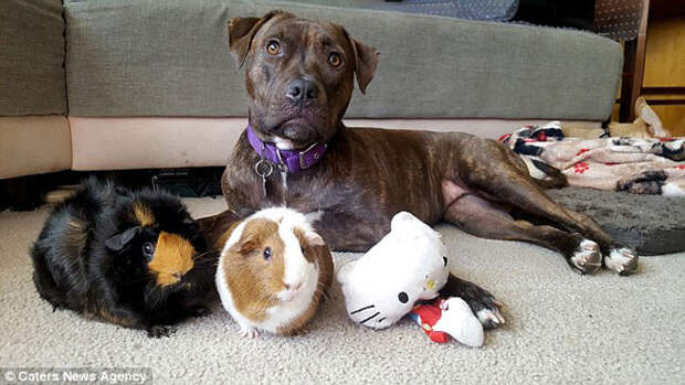 Необычная дружба: питбуль подружился с двумя морскими свинками