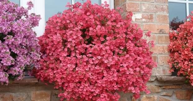 Не только петуния и лобелия! 5 «неизбитых» чарующих цветов для кашпо и балконов