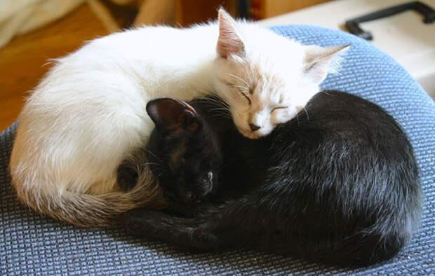 Инь и ян: идеальные черные и белые котики, которые кажутся одним целым