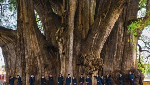 Как выглядит дерево Туле, древний кипарис в Мексике с самым толстым в мире стволом