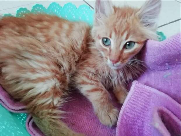 Котёнка мейн кун обнаружили в парке на траве, но когда котёнок подрос, то оказался совершенно не этой породы