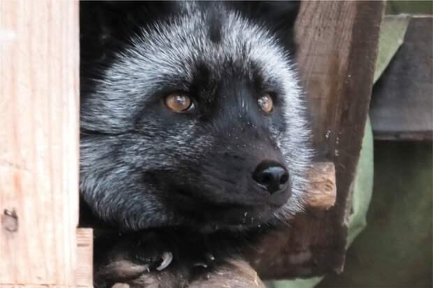 Четыре детеныша родилось у пары лис из Иркутского зоосада