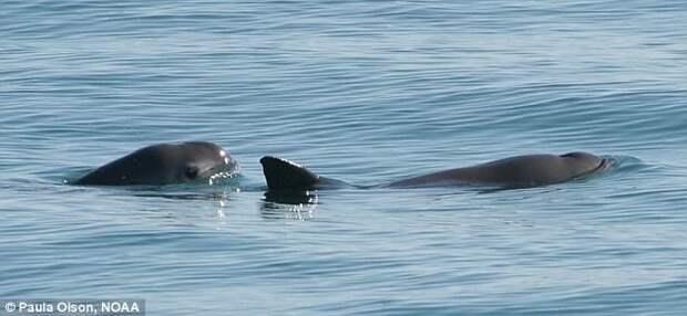 Калифорнийская морская свинья Галапагосы, австралия, животные, интересно, мадагаскар, познавательно, редкие животные, эндемики
