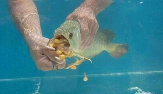 Золота много не бывает! Мужчина купил дорогущую золотую рыбу Аровану с бооольшим сюрпризом!
