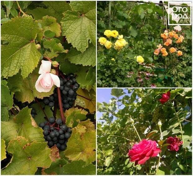 Розы и виноград