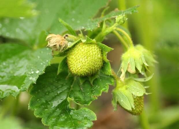 Чем подкормить клубнику для роста ягод