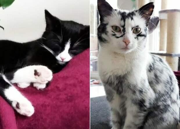 Когда витилиго – красиво: как выглядит кошка с нарушением пигментации