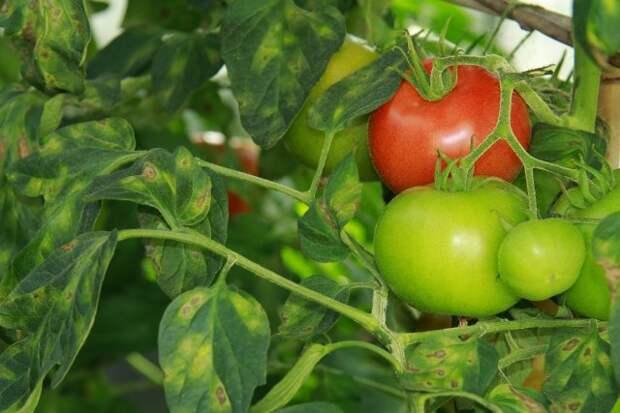 Обилие листьев и плохая вентиляция куста способствуют развитию заболеваний томата