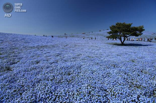 Япония. Хитатинака, Ибараки. Парк Хитачи-Сисайд. Весна. Цветение немофилы. (satoson)