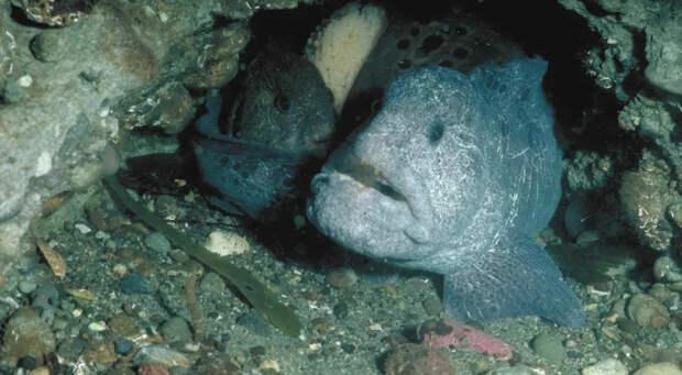 Угревидная зубатка: Дементор от мира рыб. Ужасный на вид, но добродушный северный «монстр»