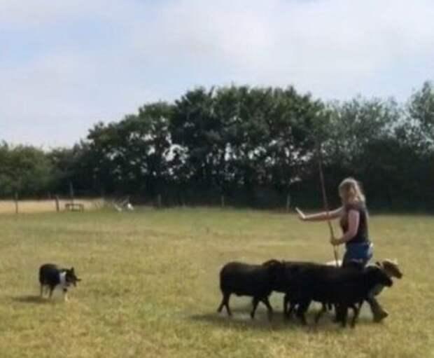Пара научила глухую собаку языку жестов, чтобы она снова могла пасти овец