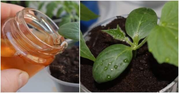 Натуральные чудо-подкормки для рассады огурцов, гарантирующие ранний и обильный урожай