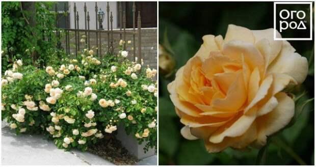 Ароматные розы – лучшие сорта для вашего сада