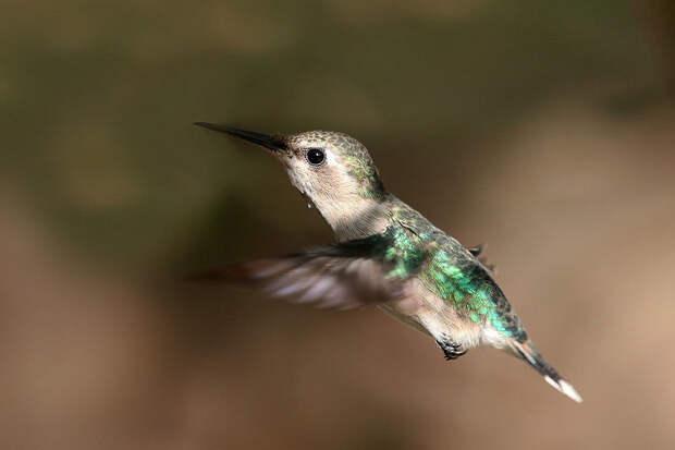 Самая маленькая колибри откладывает яйца размером с кофейное зернышко