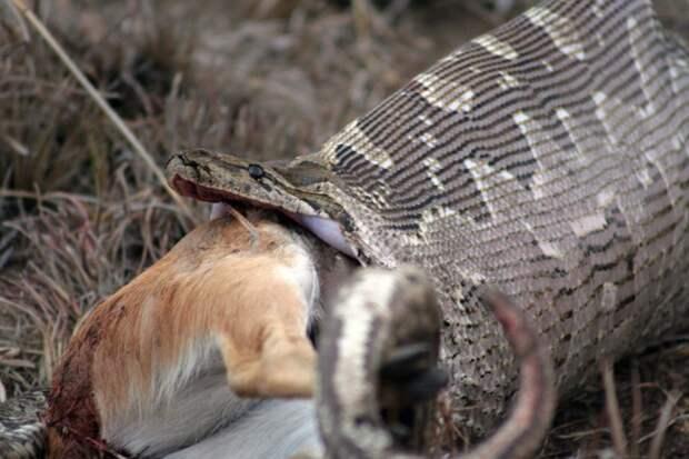 Африканцы без суда и следствия вскрыли беременную гигантскую змею животные, змея, яйцо
