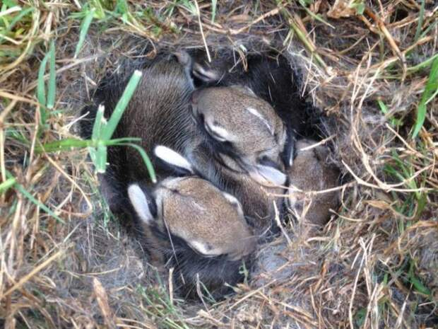 Крольчиха превратилась в берсерка, чтобы спасти крольчат от змеи