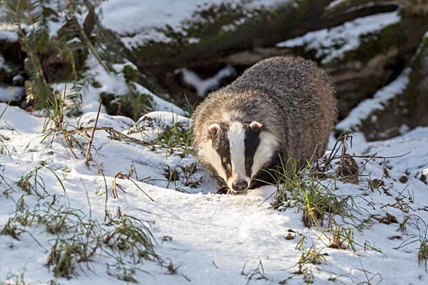 Как зимует барсук: 6 особенностей жизни запасливого зверя