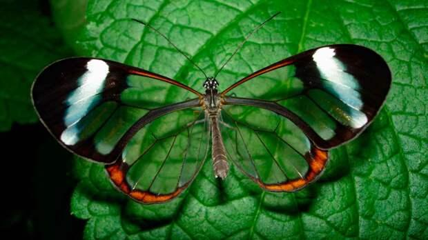 Как выглядит стеклянная бабочка