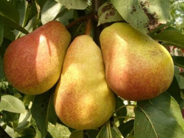 9 причин почему не плодоносит груша