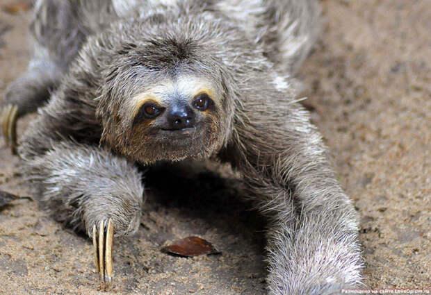 Жаба.ru :прикольные истории : Ленивцы - необычные животные